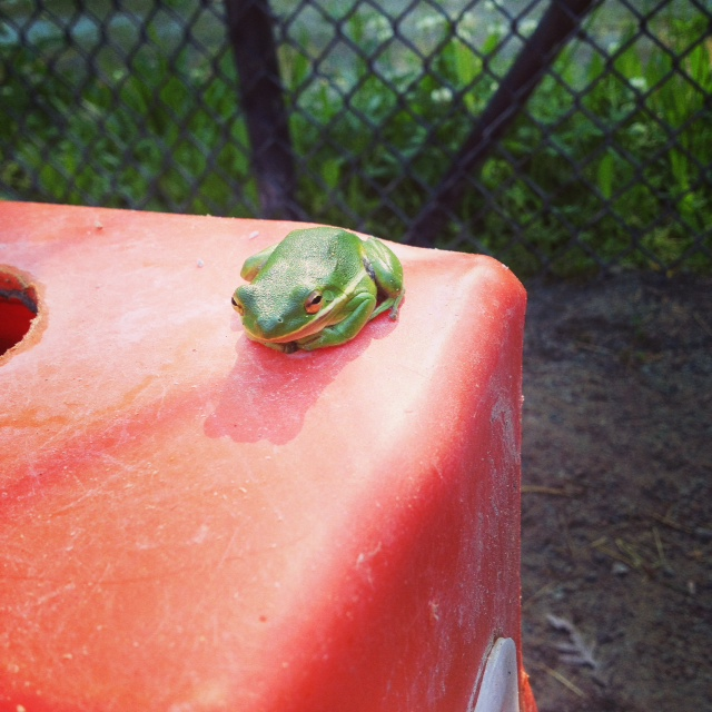 Green Tree Frog that was in the bear side yard.
