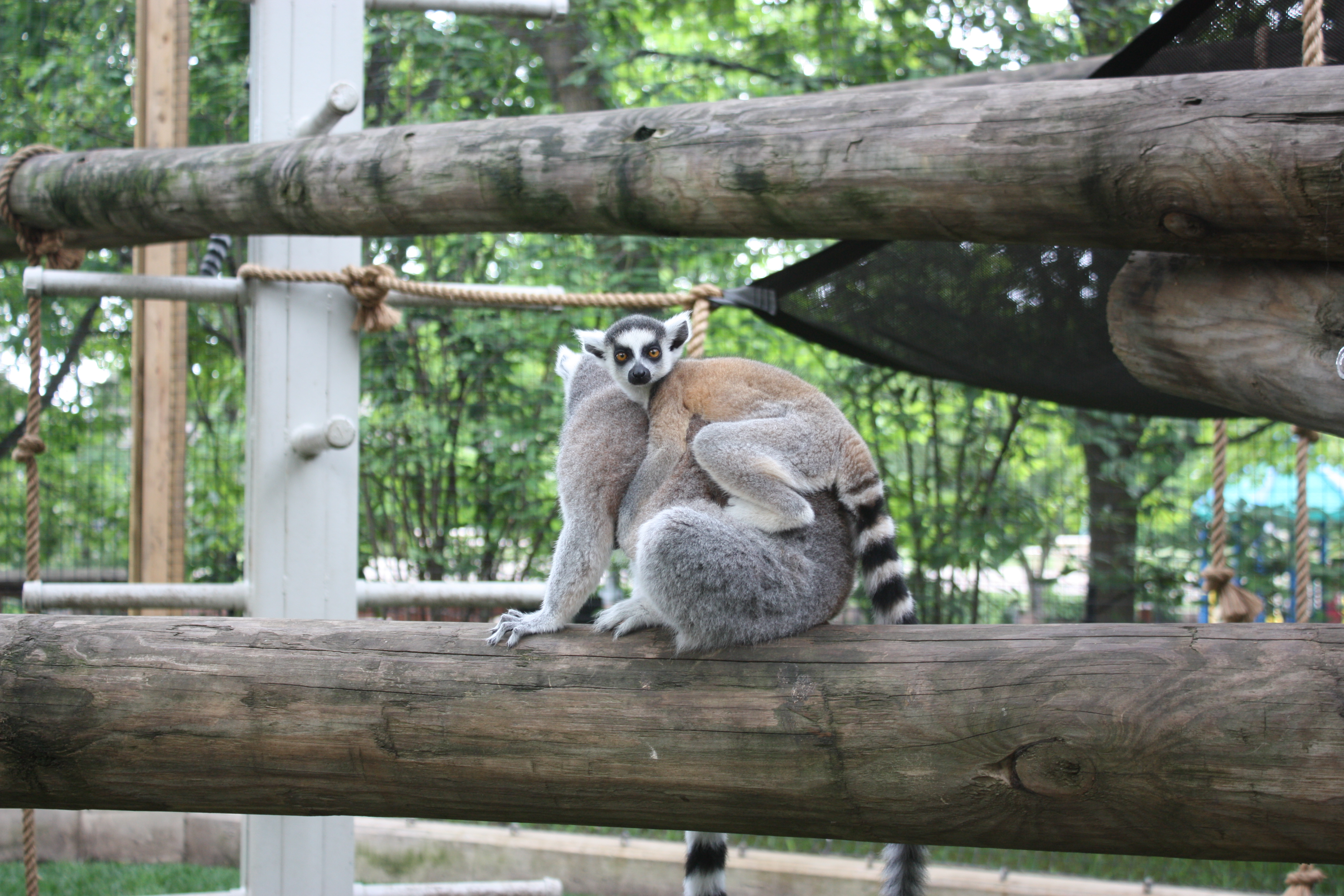 new lemurs with mom