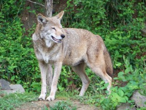 Red Wolf Recovery Program Update | Animal Keeper Blog