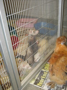 "Chicken ""chatting"" with the ferrets, Betsy, Abraham, and Martha."