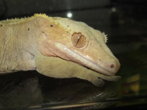 Gordon our crested gecko