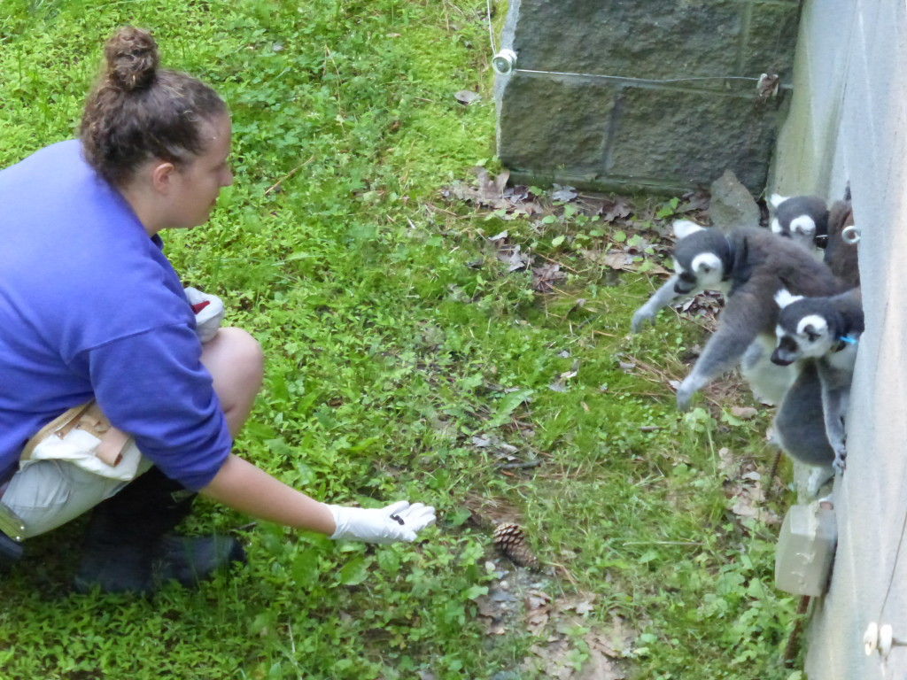 Autumn encouraging the lemurs to come outside in the yard the first day out!