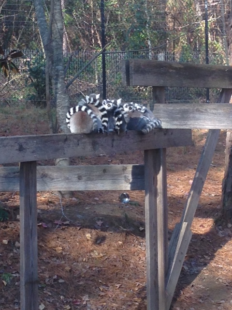 All 7 of our Ring-Tailed Lemurs cuddled up on a cold day!